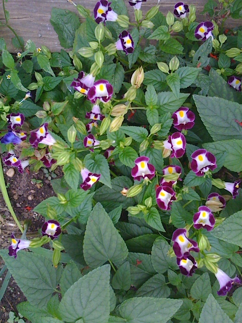 Torenia wishbone flower